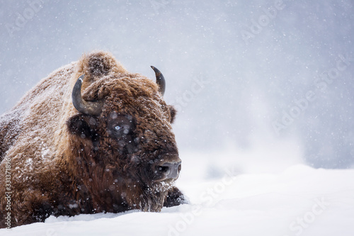 Fotografie, Obraz Bison or Aurochs in winter season in there habitat