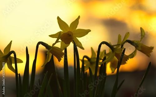 Photographie Eine Gruppe gelber Narzissen oder Osterglocken im Frühling am Abend bei Sonnenun