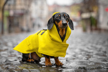 Little Sad Black And Tan Dachshund Wearing Bright Yellow Raincoa