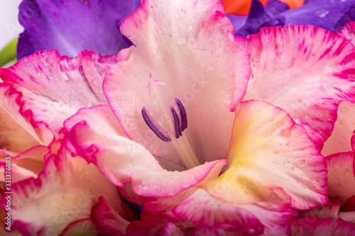 Fototapeta Close up of beauty colorful gladiolus flower obraz