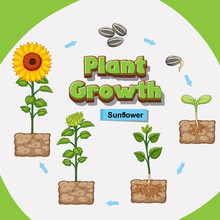 Diagram Showing How Plants Grow From Seed To Sunflower