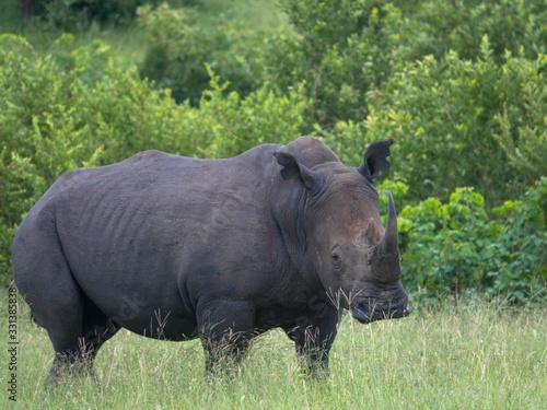 Vászonkép A close up photo of an endangered white rhino