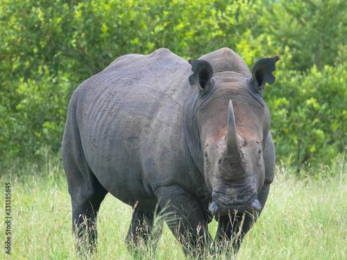 A close up photo of an endangered white rhino Tapéta, Fotótapéta
