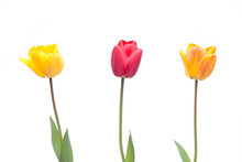 Three Tulips In Red, Orange An...
