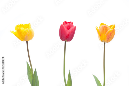 Obraz na plátně Three tulips in red, orange and yellow color