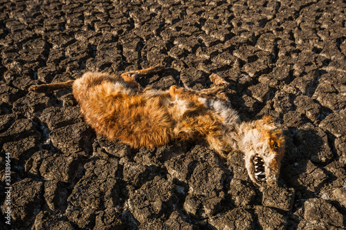Canvas Print The corpse of a red fox lying on dried lake.