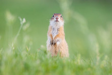 European Ground Squirrel (Sper...