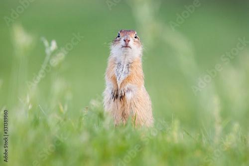 Obraz European ground squirrel (Spermophilus citellus), European souslik - fototapety do salonu