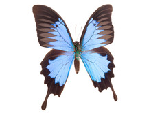 Blue Emperor Butterfly Isolate...