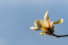 Gentle Petals Of Magnolia Flow...