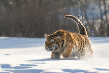 Young Siberian Tiger Enjoying ...