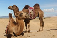 Brown Camels Sitting On The Sand Under The Sun
