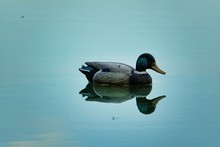 Duck In The Water, Photo As A ...