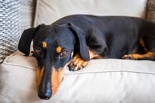 Black And Brown Sausage Dog Re...