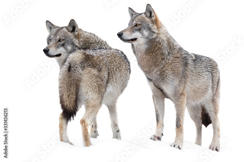 two wolf standing in the snow isolated on a white Canvas Print