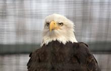 Bald Eagle In Captivity