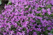 Leinwanddruck Bild - Pink flowers of phlox subulata in May