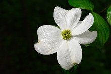 Dogwood Flower With Raindrops