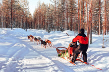 Woman In Husky Dog Sled In Fin...