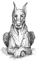 Sitting Doberman Dog, Vintage ...