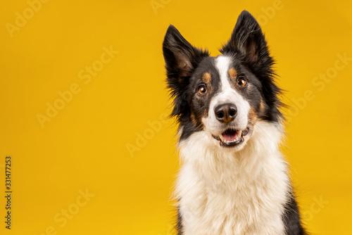Happy black tri border collie portrait on yellow background © Jess Wealleans