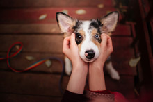 Adorable Border Collie Puppy W...