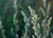 Close-up View Of Blooming Artemisia Vulgaris (common Mugwort, Riverside Wormwood, Felon Herb, Wild Wormwood, St. John's Plant), Selective Focus.  Floral Background, Medicinal Herbs Concept