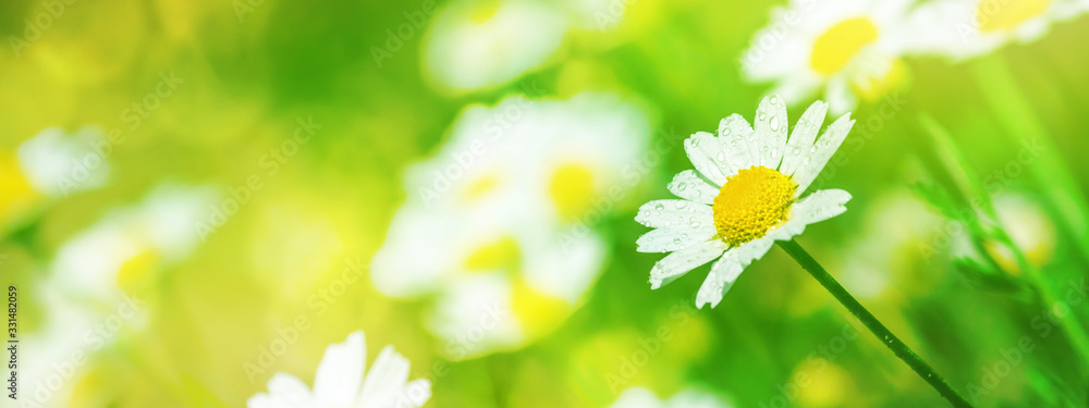 Fototapeta Background, panorama, banner with copy space - chamomile (Matricaria recutita), blooming plants in the spring meadow on a sunny day, closeup