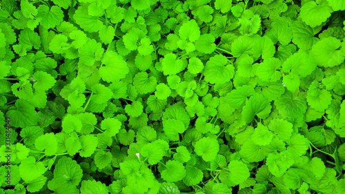 Juicy green leaves - 331484049