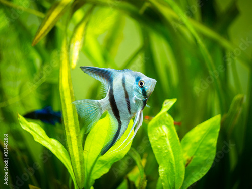 Photo portrait of a zebra Angelfish in tank fish with blurred background (Pterophyllum