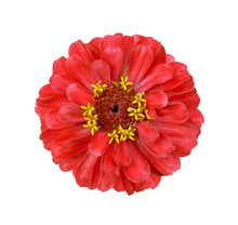 Surreal Red Zinnia Flower Isolated On White. High Detailed Macro Photo