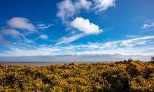 Yellow Flowering Gorse On The Coast