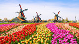 Fototapeta Tulips - dutch windmill in holland