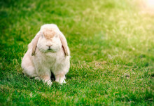 Bunny With Floppy Ears Sitting...
