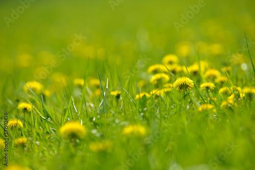 Yellow dandelion flowers (Taraxacum officinale) Canvas Print