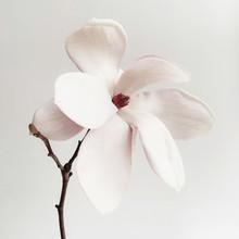 Beautiful Fresh White Magnolia Flower In Full Bloom On White Background.