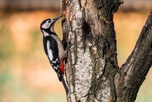 Red Woodpecker Laid On A Branch In Tuscany