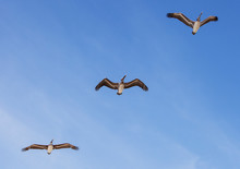 Two Pelicans Flying Over Head