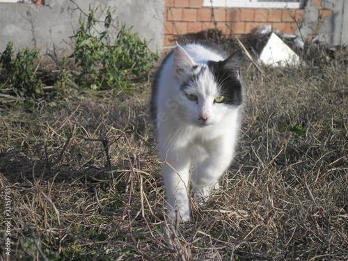 Obraz cat animal pet kitten white cute outdoor - fototapety do salonu