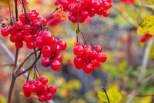 Red Viburnum Fruits Hang On A ...