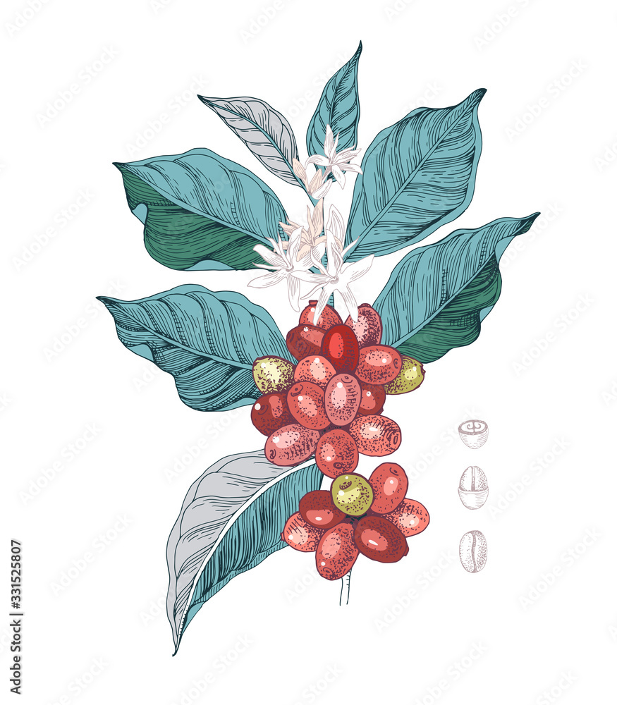 Fototapeta Hand drawn illustration of Coffee branch with seeds, fruits and flowers. Sketched coffee plant