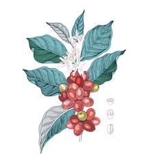Fototapeta Do kawiarni Hand drawn illustration of Coffee branch with seeds, fruits and flowers. Sketched coffee plant