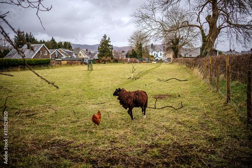 Fototapeta Zwierzęta na wsi  obraz