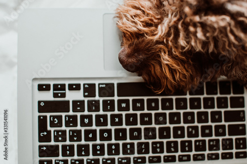 Fototapeta .Nice and sweet spanish water dog working from home with his laptop on top of the bed in the coronavirus global crisis. Lifestyle. Close up obraz