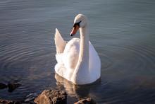 Beautiful Swan Swims In The La...