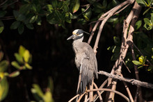 Yellow Crowned Night Heron Wad...