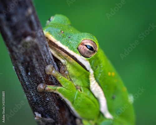 Photo Closeup of a Green Tree Frog along the Shadow Creek Ranch Nature Trail in Pearla