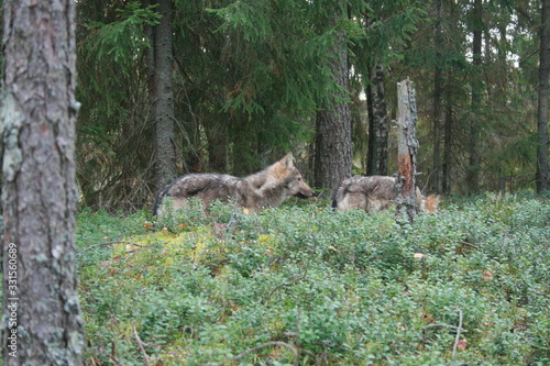 Pack of young wolves cubs near village and forest meeting hedgehog