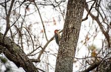 Red-bellied Woodpecker On Tree...