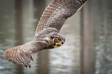 Great Horned Owl At Raptor Sho...